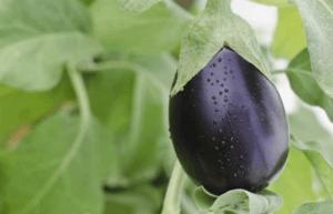 Как растет баклажан