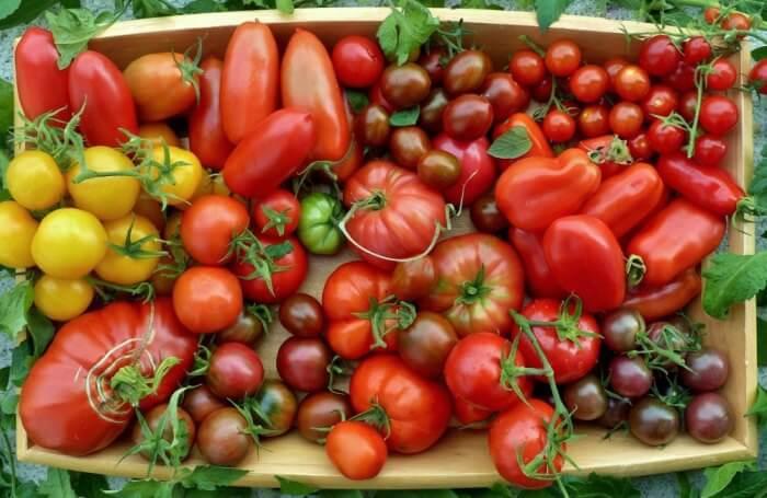 Сорта томатов для Подмосковья