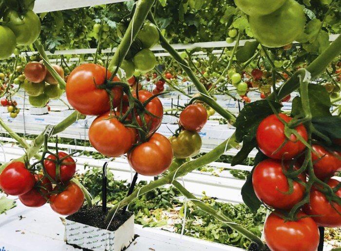Позднеспелые помидоры для Подмоковья