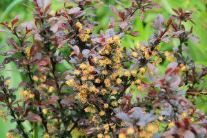 Как цветет барбарис: фото