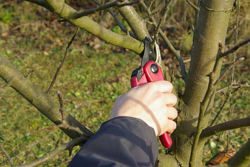 Как и когда обрезать яблоню