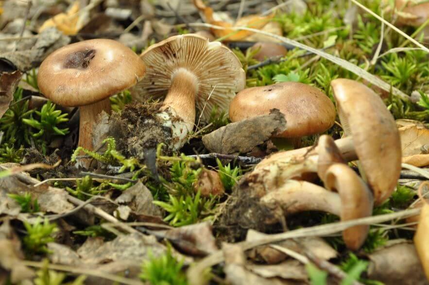Подтопольники грибы: фото