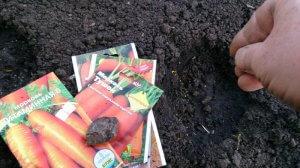 Морковь под зиму — сорта и когда сажать