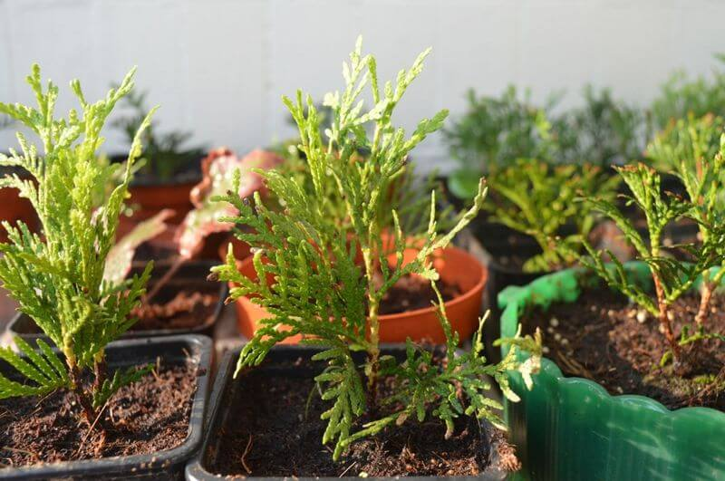 Выращивание туи из черенков в домашних условиях